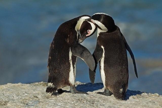 pinguini (3)