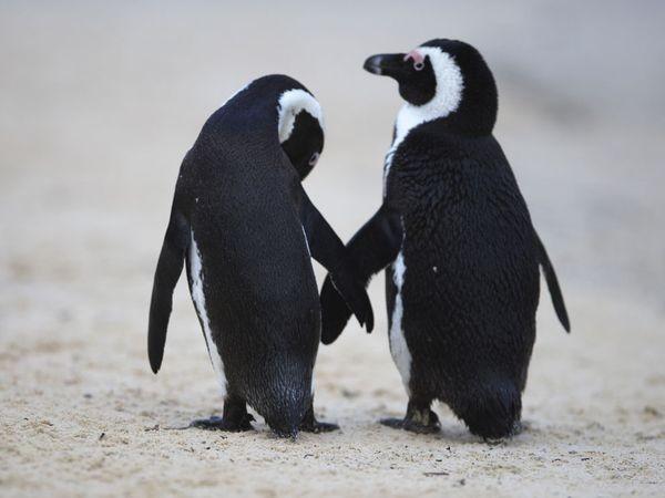 pinguini (7)