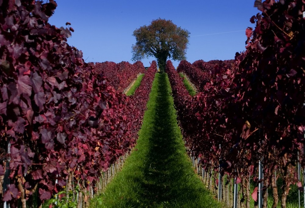leaves-are-colored-red-in-a-vineyard-during-a-sunny-autumn-day-near-ueberlingen-in-germany.jpg