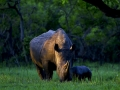 a-southern-white-rhino-named-bella-eats-with-her-day-old-baby-at-ziwa-rhino-sanctuary-in-central-uganda.jpg