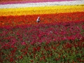 a-worker-hand-picks-giant-tecolote-ranunculus-flowers-at-the-flower-fields-in-california.jpg