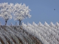 frosted-trees-are-seen-in-the-middle-of-vineyards-in-the-alsace-region-countryside-near-strasbourg-france.jpg