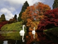 swans-swim-past-changing-autumn-leaves-in-sheffield-park-gardens-in-southern-england.jpg