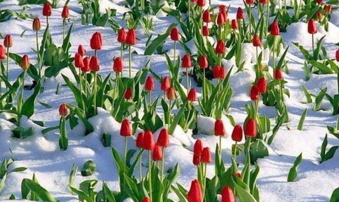 Lalelele nu zambesc cand ninge