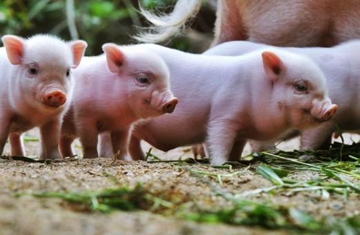 De ce au porcii sarma-n nas?