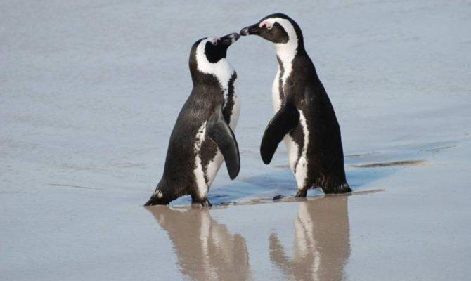 Povesti de dragoste cu pinguinii jackass, din Africa de Sud